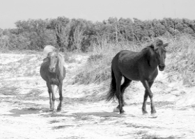 A black and white painting of two Shakleford horses on Harkers Island.